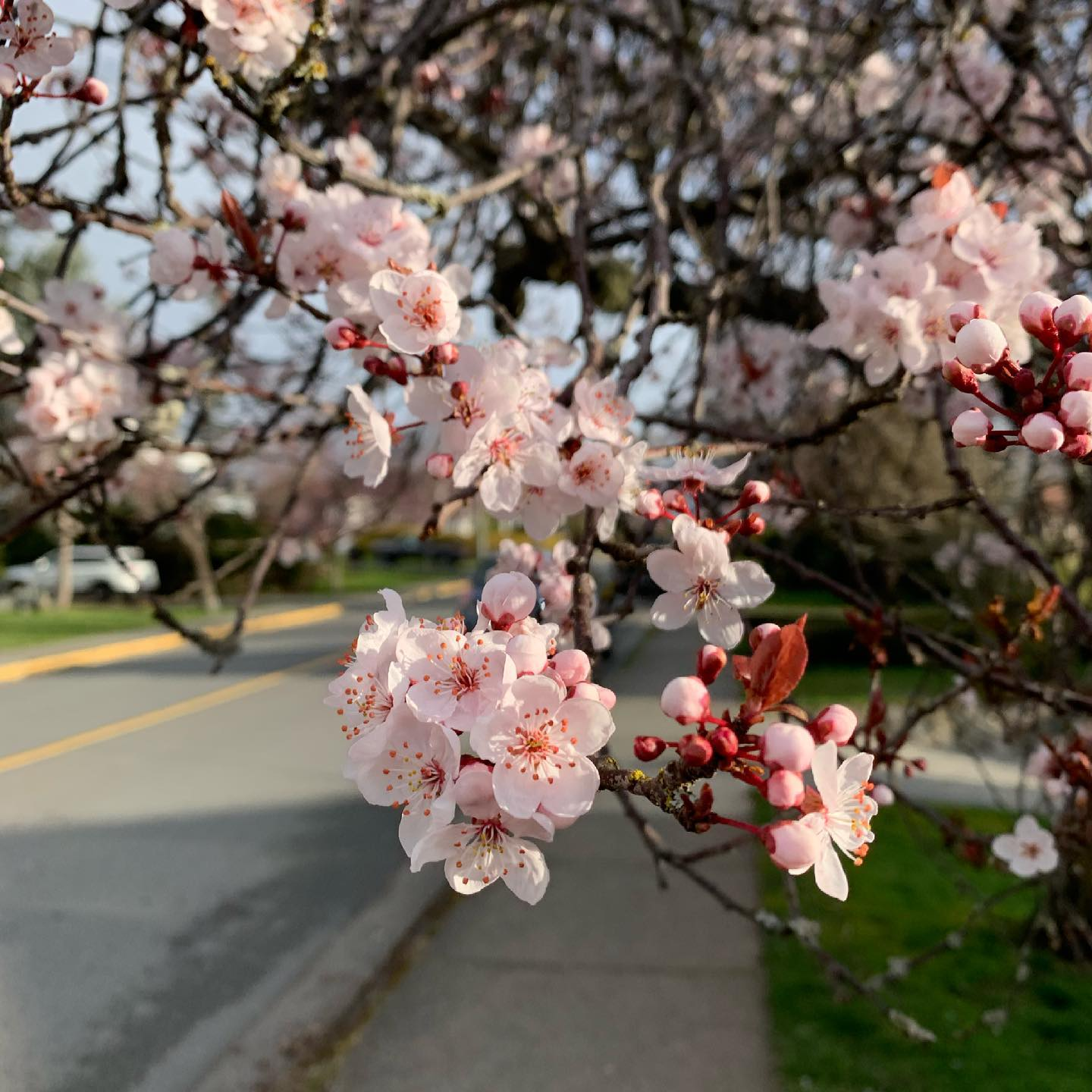 Signs of spring are starting to pop out. #yyj #spring #cherryblossoms
