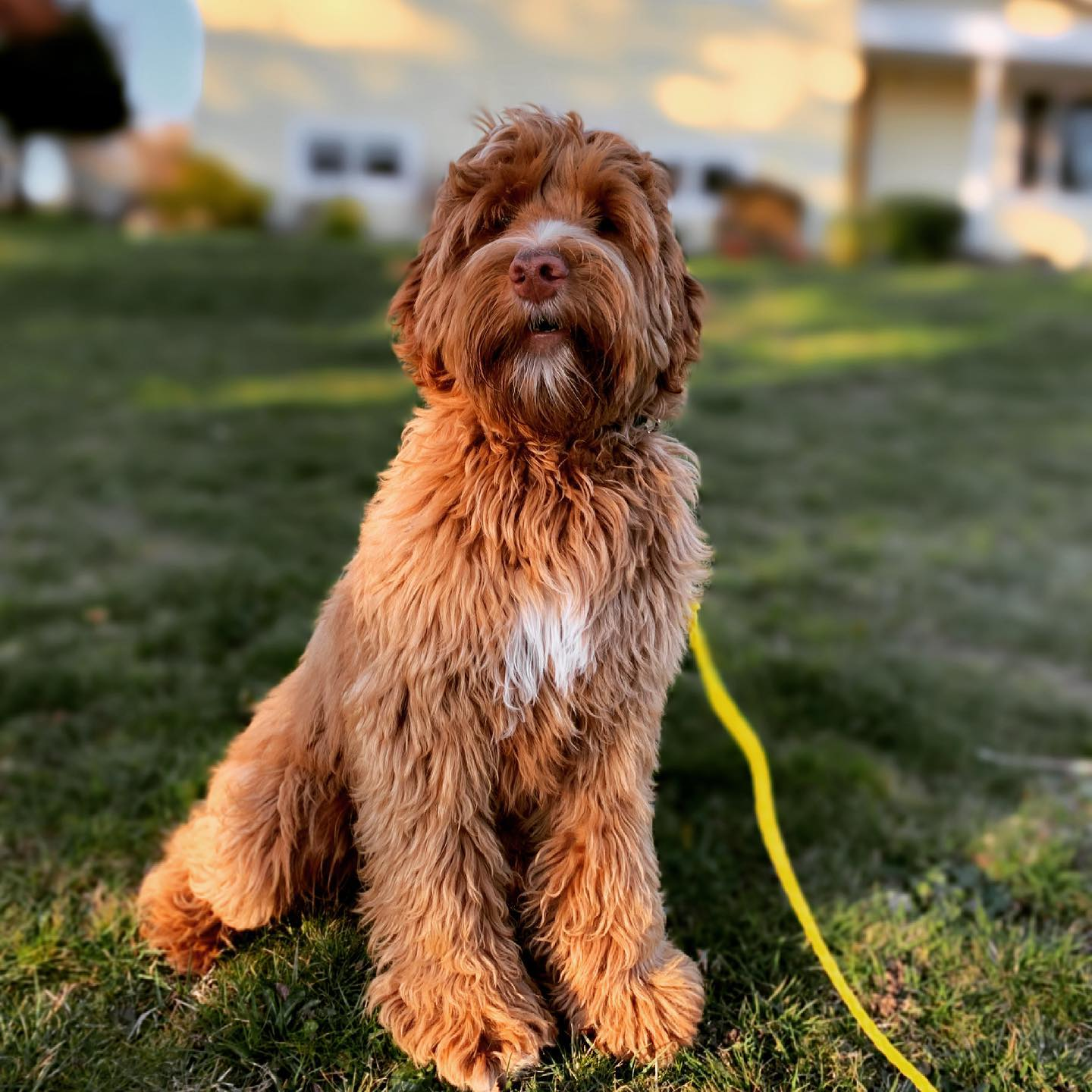 This dude. He keeps getting more cute the older he gets. #ragamuffin #looksbiggerthanheis #labradoodle #australianlabradoodle #sunvalleylabradoodles #puppy #yyj #dogsofinstagram #dogsofig #rustydoodle