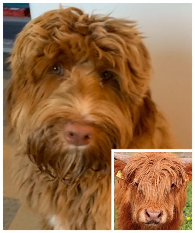 So, who do you think wears this hair style better, @rusty.the.dog.yyj or this Highland Cow? 🤣🤣 .#labradoodle #australianlabradoodle #sunvalleylabradoodles #puppy #yyj #dogsofinstagram #dogsofig #rustydoodle #shaggydog #needsahaircut