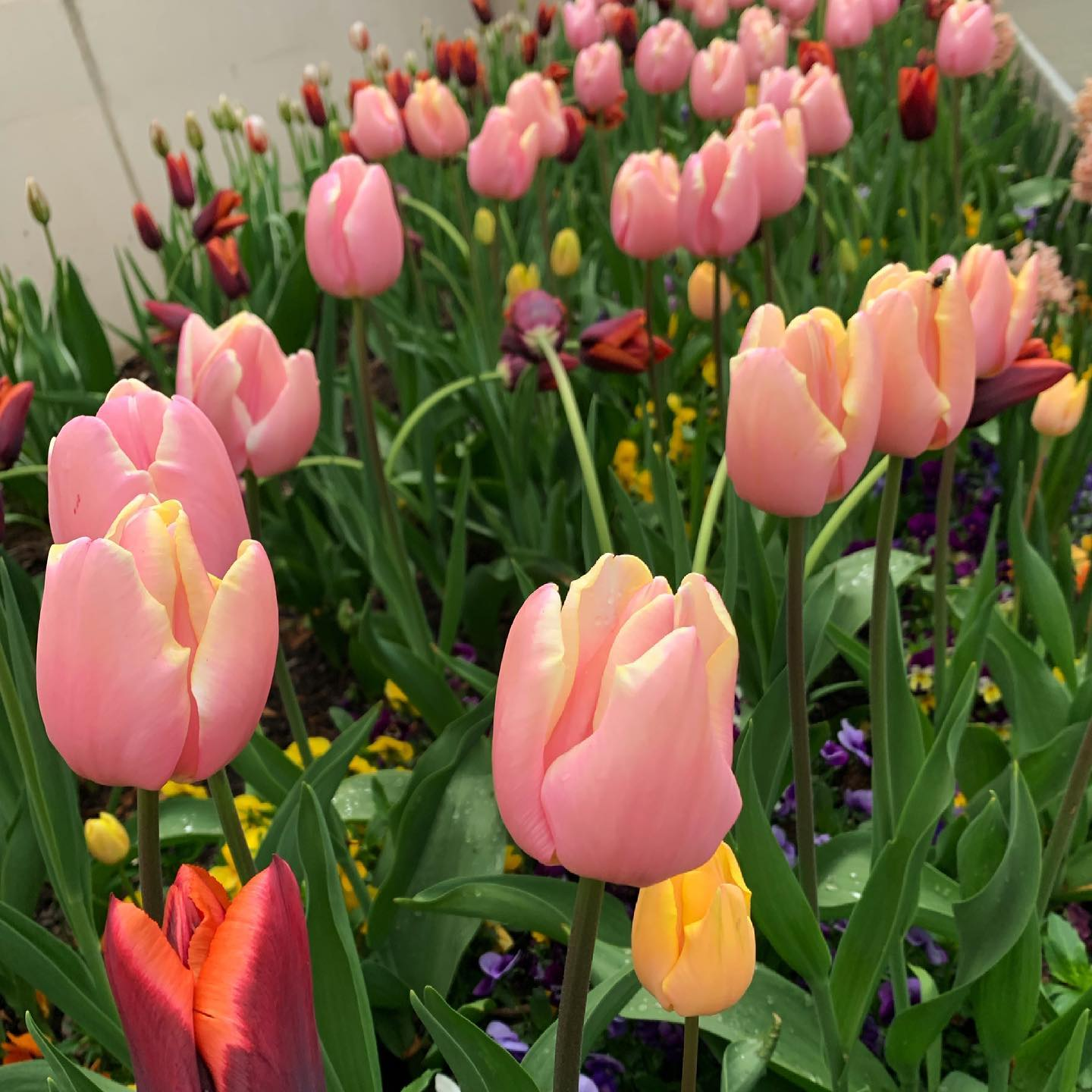 The pink is poppin' #photography #flowers #tulips #esquimalt #yyj