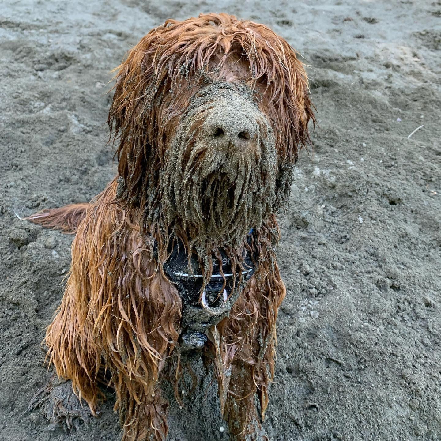 Oh my. This was @rusty.the.dog.yyj today after a play at Thetis Lake. Yeesh. #labradoodle #australianlabradoodle #sunvalleylabradoodles #puppy #yyj #dogsofinstagram #dogsofig #rustydoodle #thedood