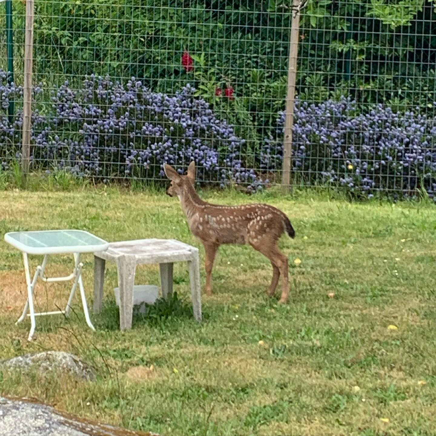 Well, it's that time of year again. #esquimalt #deer #fawns