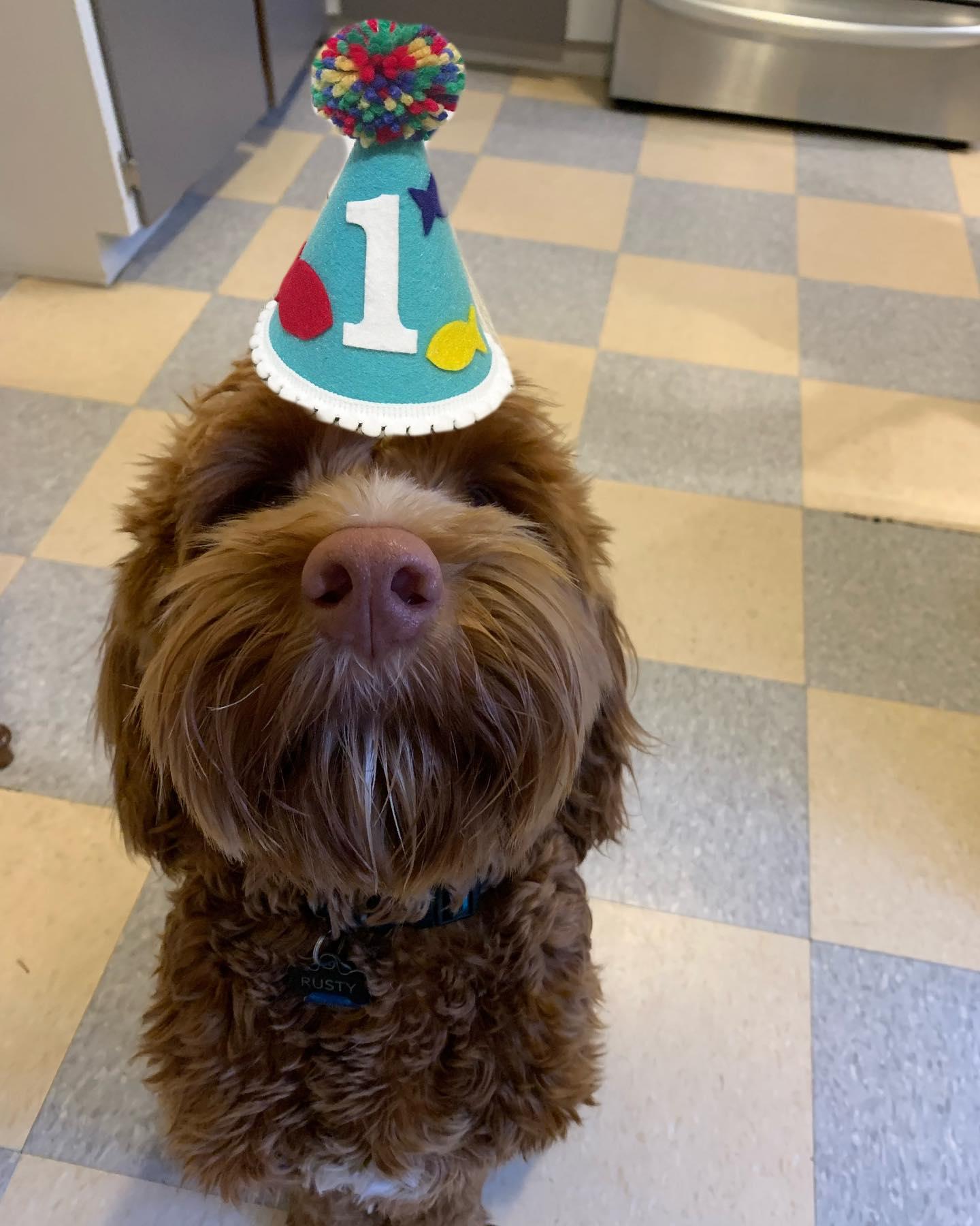 The dood turned 1! Happy birthday @rusty.the.dog.yyj #labradoodle #rustydoodle